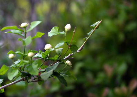 tree jasmine: White Jasmine tree