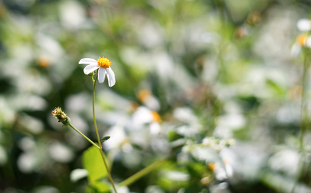 oxeye: camomile oxeye daisy meadow background Stock Photo