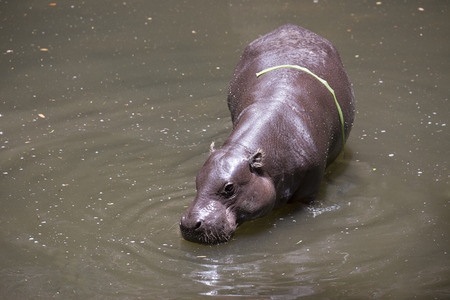 pigmy: Pygmy Hippo or Pygmy hippopotamus