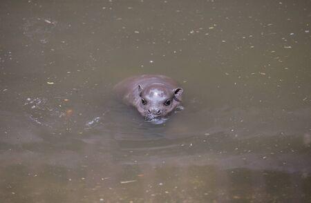 pigmy: Baby Pygmy hippopotamus