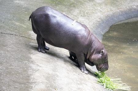pigmy: Baby Pygmy hippopotamus with mother Stock Photo
