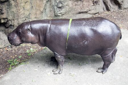 pygmy: Pygmy Hippo or Pygmy hippopotamus
