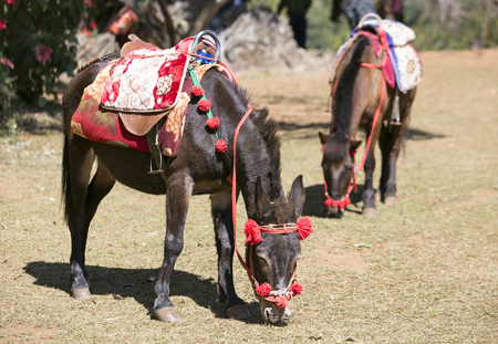 mules: Transport by mules in Chiang Mai, Thailand