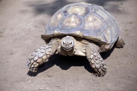 tortuga: Seychelles giant tortoise Aldabrachelys gigantea Foto de archivo
