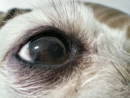 eye: Dog Eye
