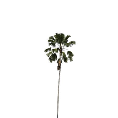 Betel palm isolated on white background, clipping path included. photo