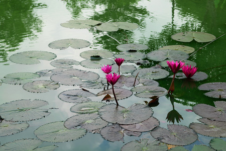 Beautiful Lotus Flower Naturally beautiful flowers in the garden. Stock Photo