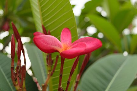 and naturally: Beautiful Plumeria Flower, Naturally beautiful flowers in the garden