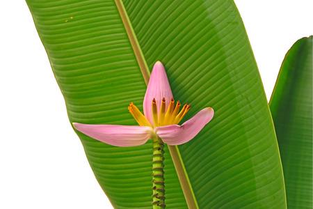 and naturally: Beautiful banana flower, Naturally beautiful flowers in the garden