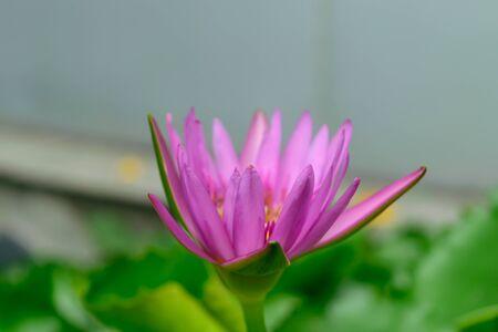 lotus flowers: Beautiful Lotus Flower, Naturally beautiful flowers in the garden