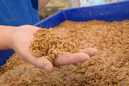mealworm: Mealworm on asia hand in worm farm
