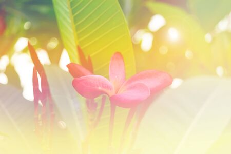 Beautiful Plumeria Flower, Naturally beautiful flowers in the garden soft focus and bright light color tone filtered background. Stock Photo