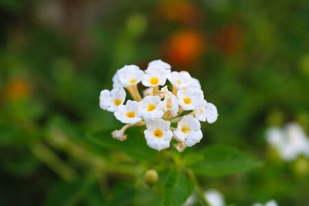 and naturally: Beautiful White Flower, Naturally beautiful flowers in the garden Stock Photo