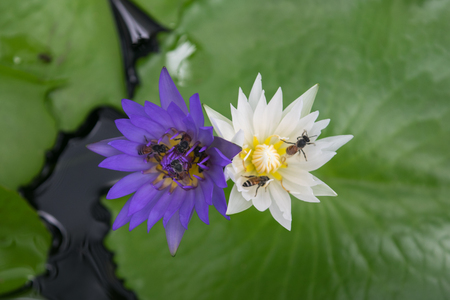 doğal olarak: Beautiful white and purple lotus flower with bee, Naturally beautiful flowers in the garden