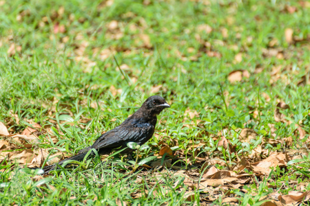 black feathered: Small one female Black Drongo bird perched on grass in the garden