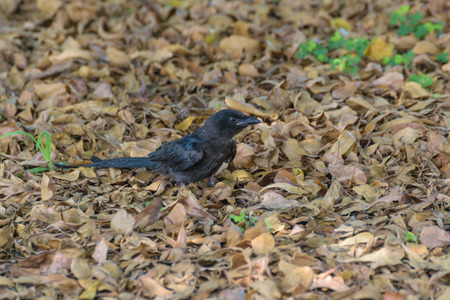 Small one female Black Drongo bird perched on ground dried leaves in the garden
