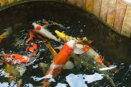 japanese koi: CARP fish or fancy carp, Japanese Koi called