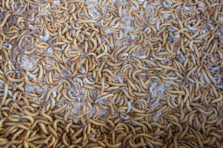 mealworm: Mealworm is a food for bird and fish in worm farm Stock Photo