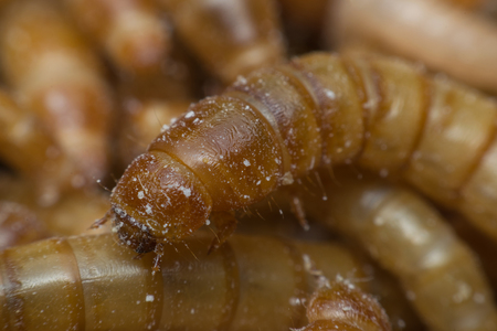 mealworm: Macro of Mealworm is a food for bird and fish in worm farm Stock Photo