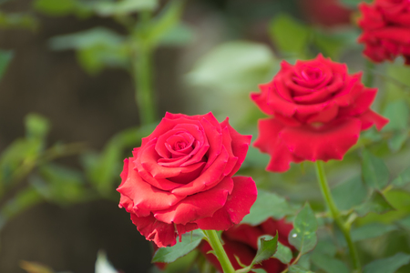 and naturally: Beautiful red rose flower, Naturally beautiful flowers in the garden