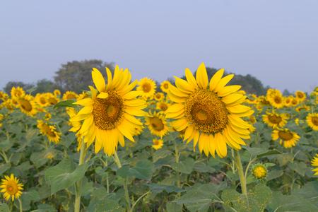 and naturally: Beautiful yellow sunflower, Naturally beautiful flowers in the garden