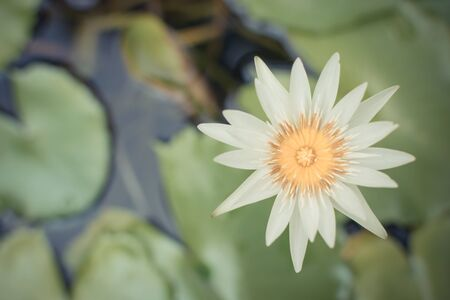 and naturally: Beautiful white lotus flower, Naturally beautiful flowers in the garden