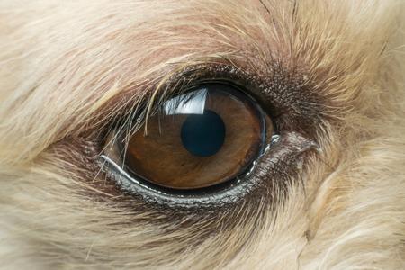 shihtzu: Macro of dog eye mixed breed with Shih-Tzu, Pomeranian and Poodle, Beige color