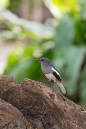 fantail: Bird (Pied Fantail) perched on a tree in the garden Stock Photo