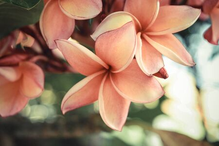 Beautiful Plumeria Flower, Naturally beautiful flowers in the garden , process in vintage style