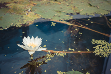 and naturally: Lotus waterlily flower white color, Naturally beautiful flowers in the garden , process in vintage style Stock Photo