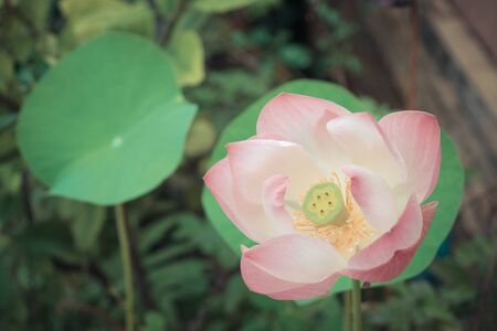 and naturally: Lotus waterlily flower pink color, Naturally beautiful flowers in the garden