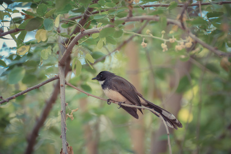 fantail: Pied Fantail bird perched on a tree in the garden Stock Photo