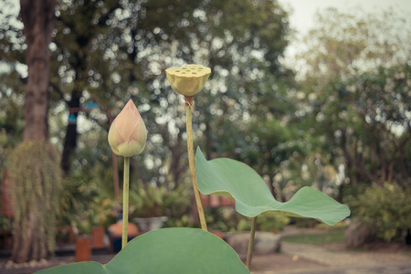 and naturally: Lotus waterlily flower pink color, Naturally beautiful flowers in the garden , process in vintage style