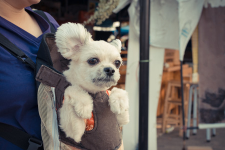 knapsack: Cute Dog staying in the knapsack or bag by Thai women shopping in market , process in vintage style