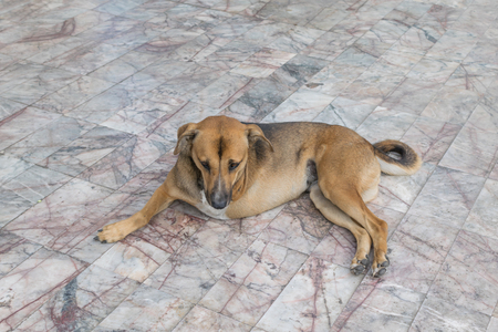 limp: Defect Thai brown dog with three legs