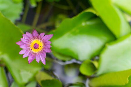 and naturally: Beautiful lotus flower purple color, Naturally beautiful flowers in the garden Stock Photo