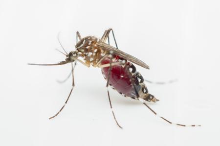 Macro van mug (Aedes aegypti) zuigen bloed close-up op de menselijke huid. Mosquito is drager van malaria, encefalitis, Dengue en Zika virus, geïsoleerd op een witte achtergrond