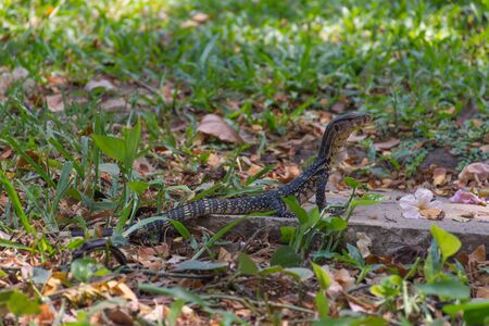 wide  wet: Asian water monitor lizard outdoor nature in a park Stock Photo