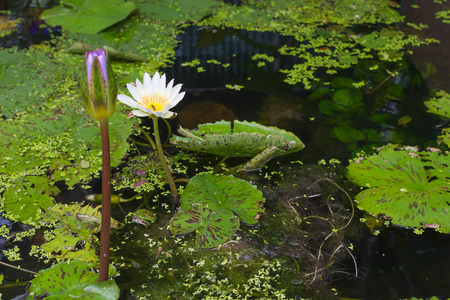 and naturally: Lotus waterlily flower white color, Naturally beautiful flowers in the garden Stock Photo