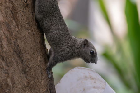 onto: Squirrel is member of the family Sciuridae, Squirrel holding onto a tree branch. Stock Photo