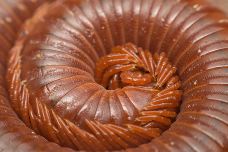 naturalist: Macro of millipede insect close up rolling in nature Stock Photo