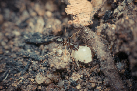 Macro of insect black ant to move larva close up on the ground in nature , process in vintage style