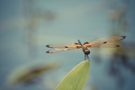 Dragonfly in yellow and black on a plant in wild blurred a green nature background , process in vintage style Stock Photo