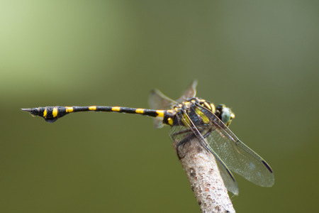 Dragonfly in yellow and black on a plant in wild blurred a green nature background Stock Photo