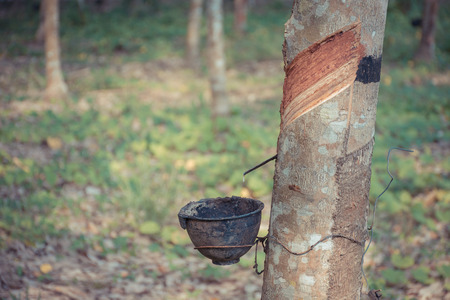 natural process: Natural latex dripping from a rubber tree at a rubber tree plantation. , process in vintage style Stock Photo