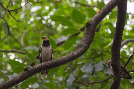 pied: Bird (Black-collared starling, Sturnus nigricollis) perched on a tree in the garden Stock Photo