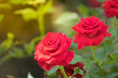 grime: Beautiful red rose flower, Naturally beautiful flowers in the garden , process in soft orange sun light style