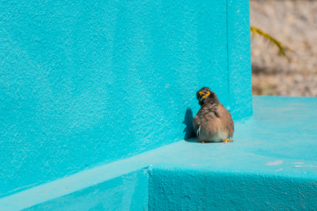 hysteria: Bird (Mynas or Sturnidae) emotional shock perched on a floor and wall blue color