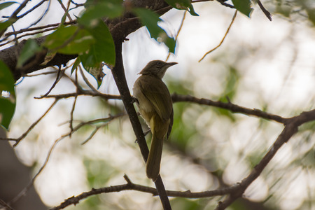 pied: Bird (Streak-eared bulbul, Pycnonotus blanfordi) brown color perched on a tree in the garden Stock Photo