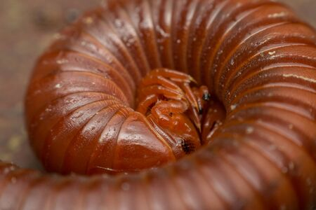 Macro of millipede insect close up rolling in nature Stock Photo